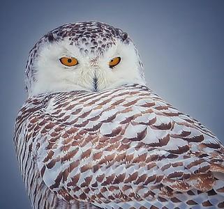 Snowey Owls