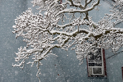 Tania Barricklo-Daily Freeman                      A light snowfall fell in the area as seen here  covering a tree behind the YWCA in Uptown Kingston, N.Y Friday morning
