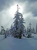 1930 Snowy tree