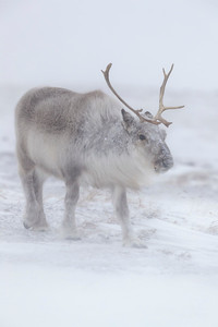 Reindeer = Caribou They are the same species.  They look well fed despite the rigors of their environment