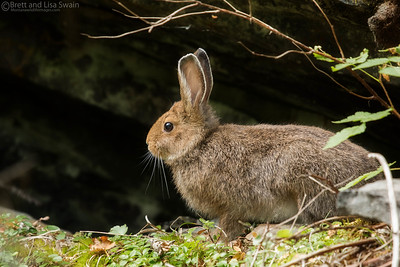 Snowshoe Hare-Summer