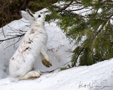 Snowshoe Hare Feeds on Pine Needles-Montana-week 2 in transition