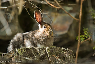 Snowshoe Hare-nearing a complete transition from winter to spring.