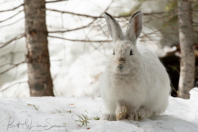 Snowshoe Hare-first signs of transition-winter to summer