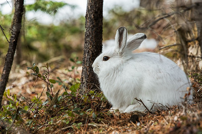 Out Of Its Element (snowshoe hare)