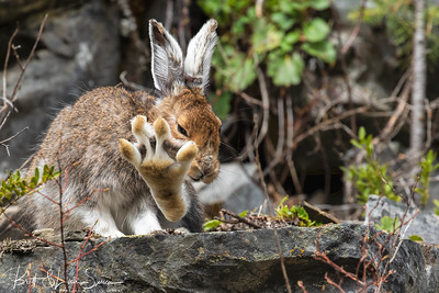 Snowshoe Hare's Toe Stretch