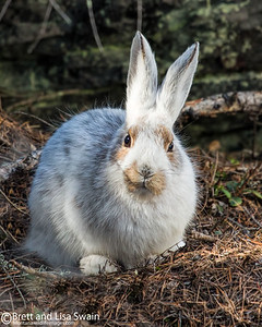 Snowshoe Hare in Mid-transition