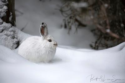 Pristine Setting-Snowshoe Hare