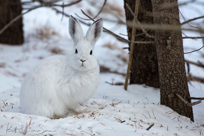 Snowshoe Hare-Mr./Mrs. Personality