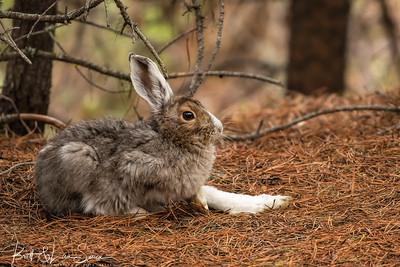 Snowshoe Hare-Week 3 in transition