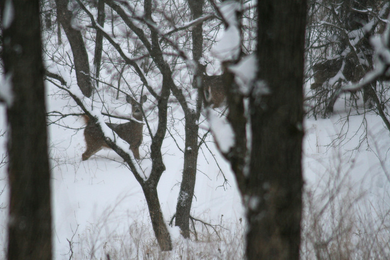 I caught up with the deer several times, but only this once was I able to get pictures of them.