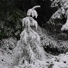 This small Douglas-fir struggled under the weight of the wet snow.