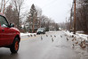 HOLLY PELCZYNSKI - BENNINGTON BANNER Make way for ducklings. Ducks cross the road, holding up traffic on Tuesday morning on Park Street in Bennington.