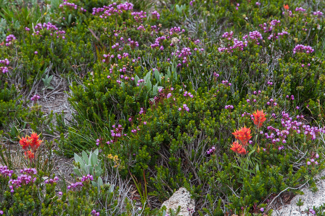 Indian Paintbrush and Heather (Erica)