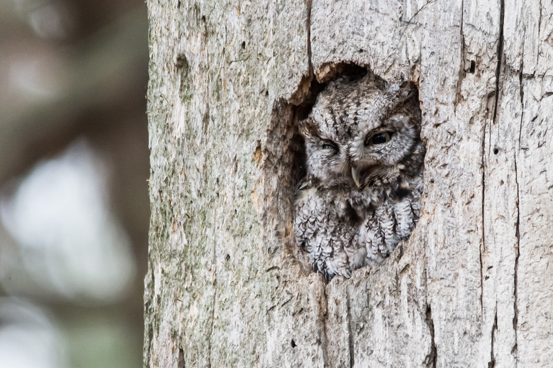 Eastern screech-owl / Petit-duc maculé