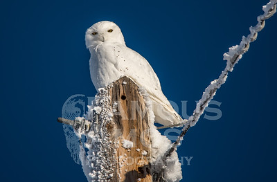Owl-Snowy Owl