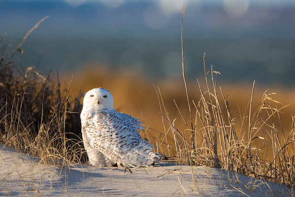 Angry Little Snowy Owl