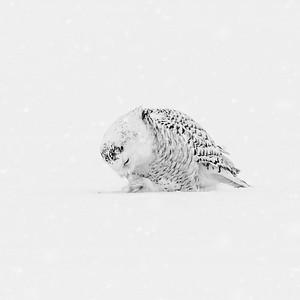 Snowy Owl #20