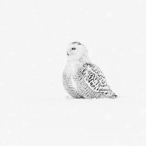 Snowy Owl #17