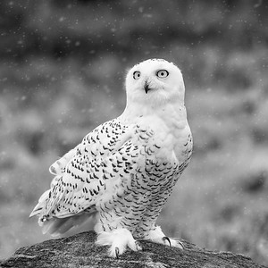 Snowy Owl #15