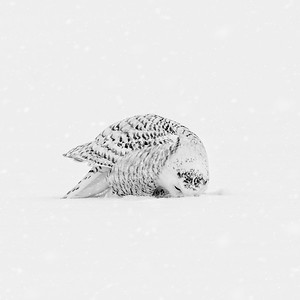 Snowy Owl #19