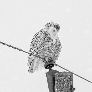 Snowy Owl #23