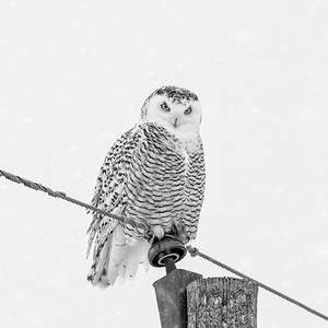 Snowy Owl #24