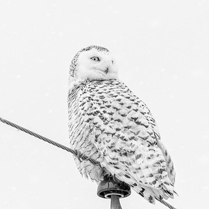 Snowy Owl #21