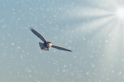 Snowy Owl #12