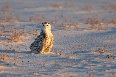 Snowy Owl #10
