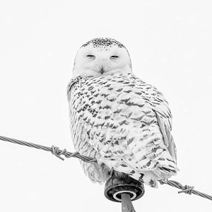 Snowy Owl #22