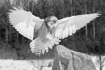 Snowy Owl #14