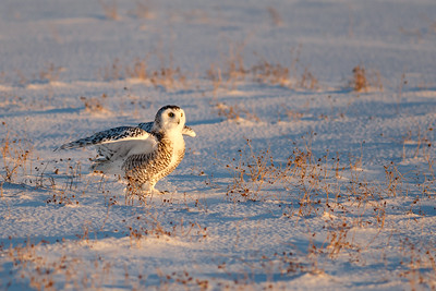 Snowy Owl #9