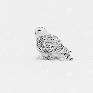 Snowy Owl #18