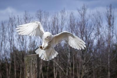 Snowy Owl #13