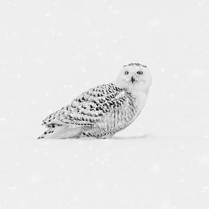 Snowy Owl #16