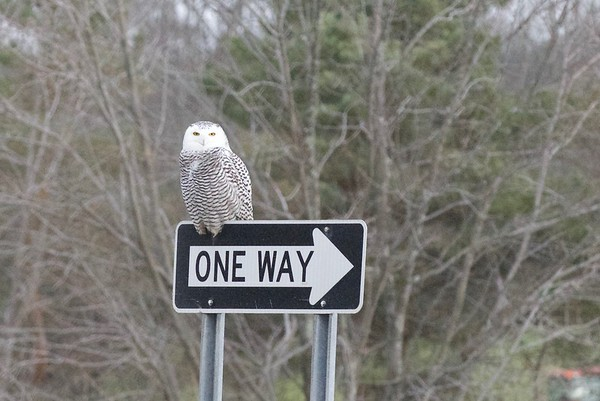 Snowy Owl Rte 89 11-17