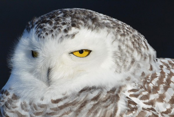 Snowy Owl!