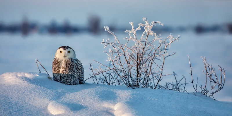 Snowy Owl Resting on Frozen Mound