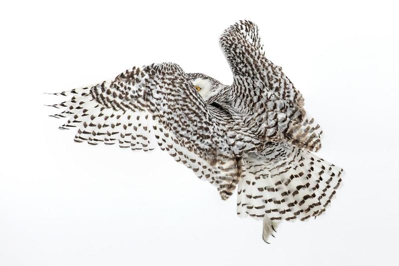 Snowy Owl Peek