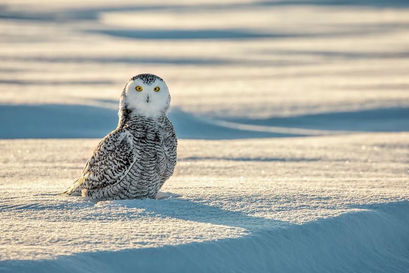 Snowy Owl Frozen Sunset