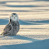 Snowy Owl Frozen Sunset