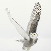 "Snowy Owl ""V"" Wings Liftoff"