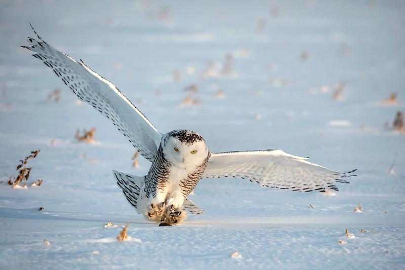 Snowy Owl Hunt