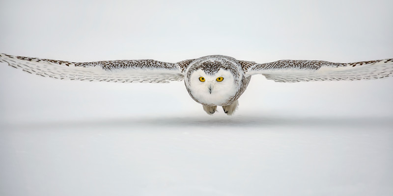 Snowy Owl Low Flight 2