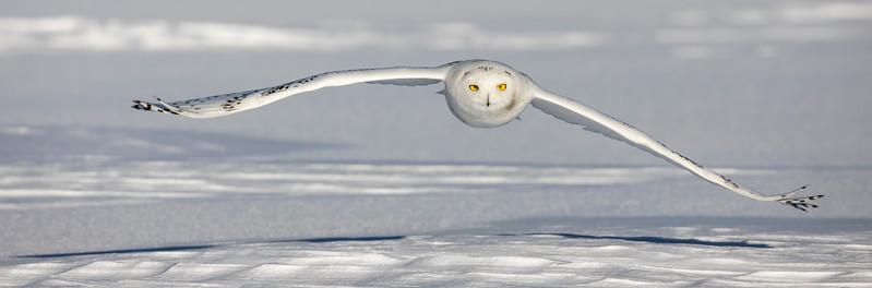 Snowy Owl Low Glide