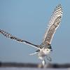 Snowy Owl V Wing