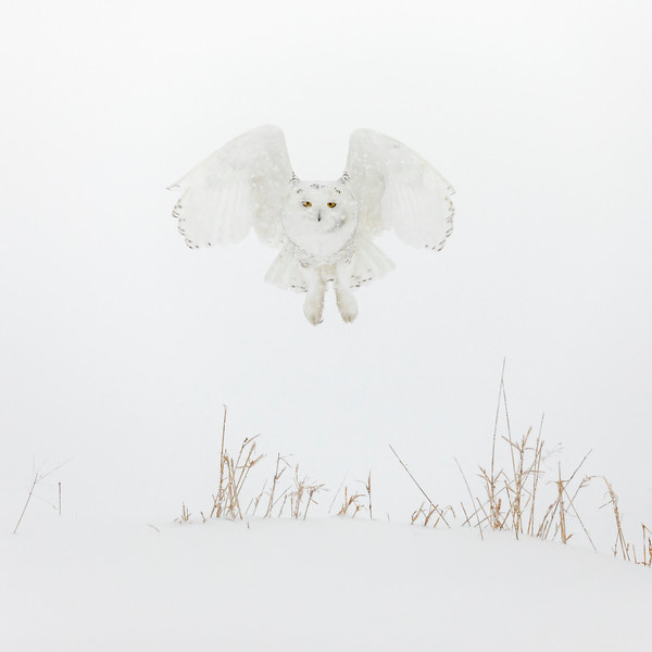 Ghostly Snowy Owl Hovering