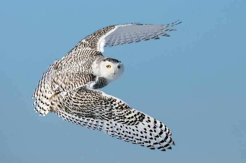 Snowy Owl Sunshine 2