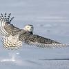 Rising Snowy Owl